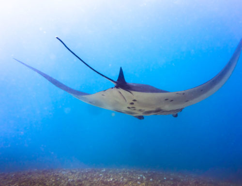 Diving with Manta Rays in Komodo, Indonesia