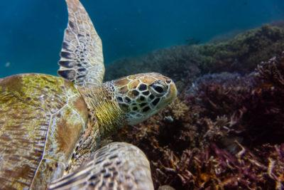sea turtles Indonesia