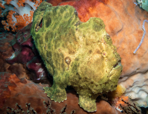 Frogfish Habitat and Biology